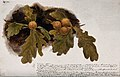 Oak leaves with four oak apples. Watercolour drawing. Wellcome V0043562.jpg