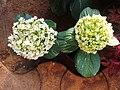 Oakleaf Hydrangea 2.jpg