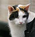 Odd-eyed mi-ke-coated Japanese Bobtail - URK cat show Vantaa 2006-10-08.JPG