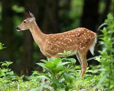White-tailed deer fawn (Odocoileus virginianus), Owen Conservation Park, Madison, Wisconsin