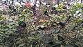 Oecophylla smaragdina nest 01.jpg