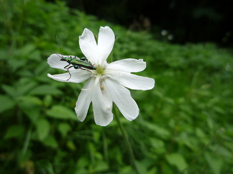 Insect: Oedemera nobilis (thick-legged flower beetle)  Flower: Silene latifolia (white campion)