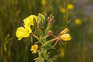 Oenothera biennis - Image: Oenothera biennis, Vic la Gardiole 01