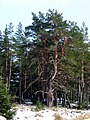 Old Pine in Glenmore Forest Park - geograph.org.uk - 763196.jpg