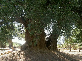 Parco Nazionale del Cilento, Vallo di Diano e Alburni - Image: Olea europaea (Cilento)