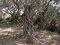 Olea europaea Grove Wardija Ridge Malta 07.jpg
