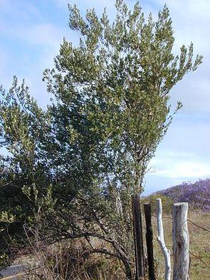 Olivenbaum Olea europaea subsp. europaea