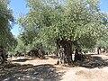 Olivenbäume im Mariestal C.jpg