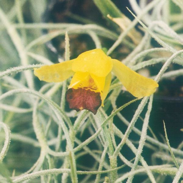 Oncidium-brunleesianum