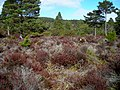 Open Forest in Rothiemurchus - geograph.org.uk - 764200.jpg