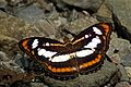 Open wing position of Athyma inara Westwood, 1850 – Colour Sergeant WLB DSC 0461.jpg