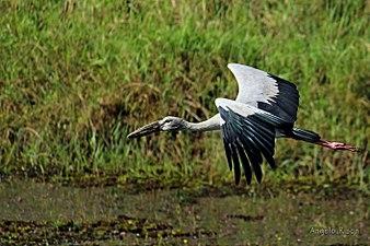 Openbill stork (Anastomus oscitans).jpg
