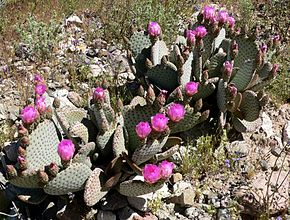 Description de l'image Opuntia basilaris form.jpg.