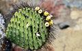 Opuntia galapageia var. galapageia, Santiago 2010 10 04 1874 (5192163361).jpg
