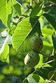 Orahov list i plod.jpg