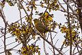 Orange-crowned Warbler (Leiothlypis celata) (8079392810).jpg