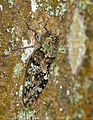 Orange-wing Cicada (Platypleura sp.) (31612708047).jpg