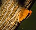 Orange Banner (Temenis laothoe hondurensis) (35978784744).jpg