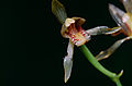 Orchid (Id?) (14671329553).jpg