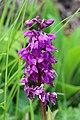 Orchid - panoramio (15).jpg