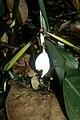 Orchidantha fimbriata 1.jpg