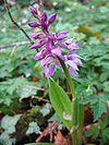 Orchis mascula.jpeg
