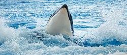 Orcinus orca - Loro Parque 01.jpg