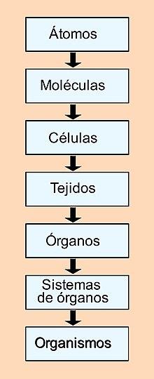 Cuerpo Humano Wikipedia La Enciclopedia Libre