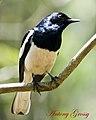 Oriental Magpie Robin (6943130374).jpg