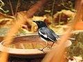 Oriental magpie-robin from Ezhimala DSCN7071.jpg