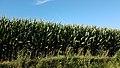 Ornézan - Champ de maïs.jpg