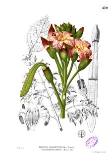 <i>Oroxylum indicum</i> Species of tree