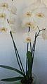 Orquidea con fondo blanco.jpg