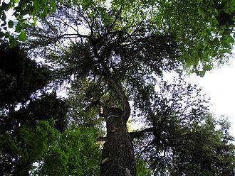 Cedro dell'Himalaya (Cedrus deodara). Orto botanico di Padova
