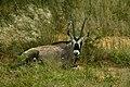Oryx gazella 03.jpg