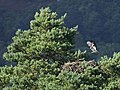 Ospreys (Pandion haliaetus), Loch of the Lowes - geograph.org.uk - 1596328.jpg