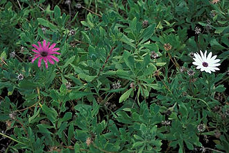 Osteospermum fruticosum - Image: Osteospermum fruticosum 01
