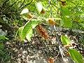 Ostrya carpinifolia NoviPazar2.JPG