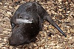 Otters waiting for dinner-2and (3525127542).jpg