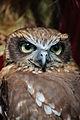 Owls @ Dragonheart, Enschede (9549439382).jpg