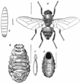 Ox Warble-fly.png