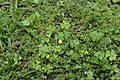 Oxalis corniculata 2617.jpg