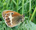 P1010573w Coenonympha arcania.jpg