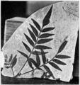 PSM V73 D125 Fossil soapberry tree sapindus stellariaefolius.png