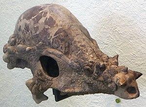Pachycephalosaurus - Skull AMNH 1696