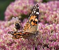 Painted Lady 1 (3915633493).jpg
