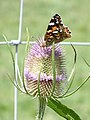 Painted Lady and teasel (3775322165).jpg