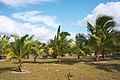 Palm trees at Caleta Buena.jpg