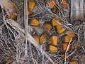 Pandanus heterocarpus 07 (scattered fruit).jpg