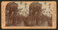 Papaia (papaya) trees in the Mauna Loa Valley, Hawaii, from Robert N. Dennis collection of stereoscopic views.png